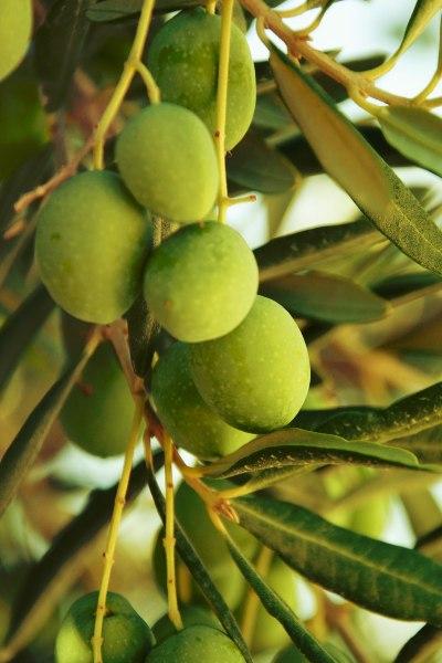 Historia del cultivo del olivo