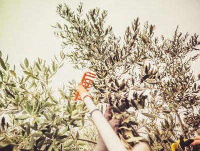 Sostenibilidad: conoce cómo se produce el aceite de oliva