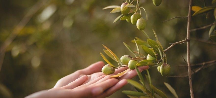 Todo sobre el árbol del olivo