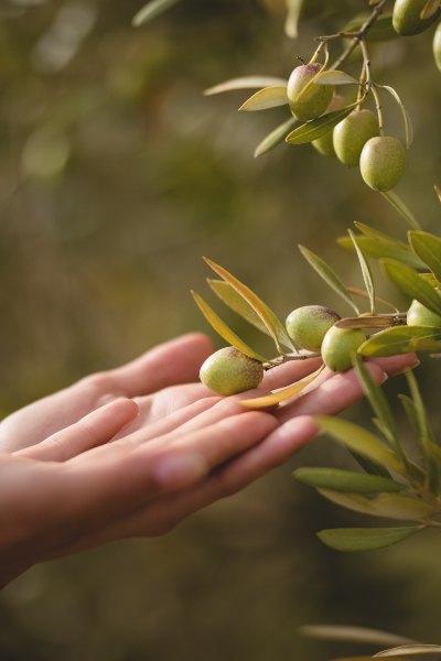 Descubre todo sobre el famoso árbol del olivo